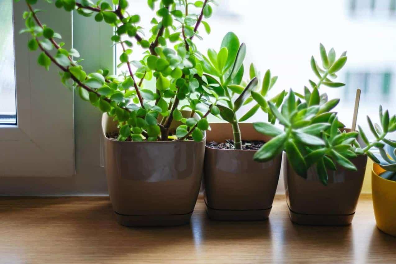 Plantas en el alféizar de la ventana